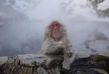Snow-Monkey