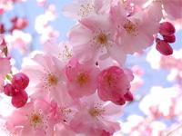 cherry-blossom.gif